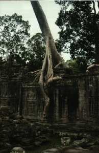 Silk Tree at Teah Prohm - Angkor